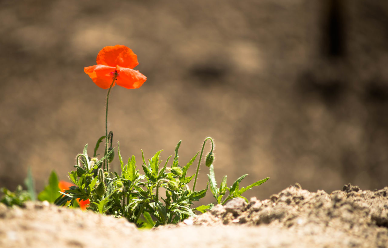 Poppies Plant Leaf Nature Flower Outdoors Beauty In Nature No People Sunlight Growth Close-up Nature Reserve Day Landscape Rural Scene Flower Head Grass Tree Freshness Poppies  Poppy Poppy Flower
