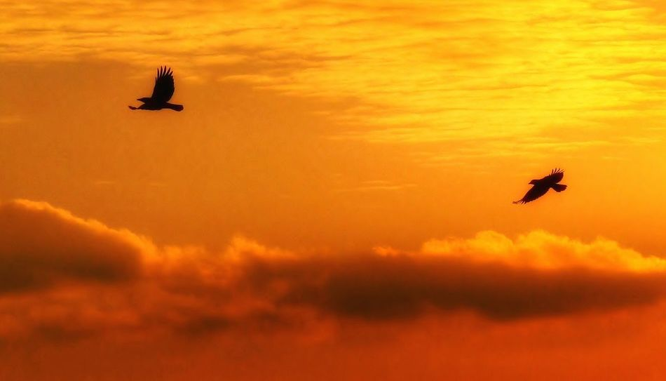 Dreaming Animals Nature Nature Photography Golden Sky Eyem Gallery Warm Colors Warm Light Warm Summer Day Birds In Flight Birds Silhouette Goldenhour EyeEm Gallery Black Birds Sundown Orange Color Orange Sky Sky And Birds Clouds And Sky