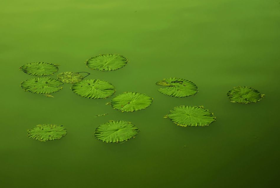 Kandawgyilake Green Water Lily Canon Eos M2 Lake