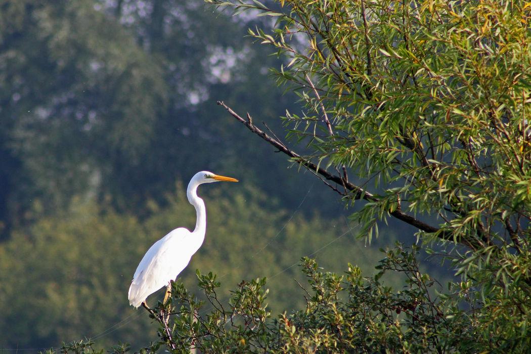 Bird Photography Blauwekamer Bomen Morning Light Wageningen Water White Color Zilverreiger
