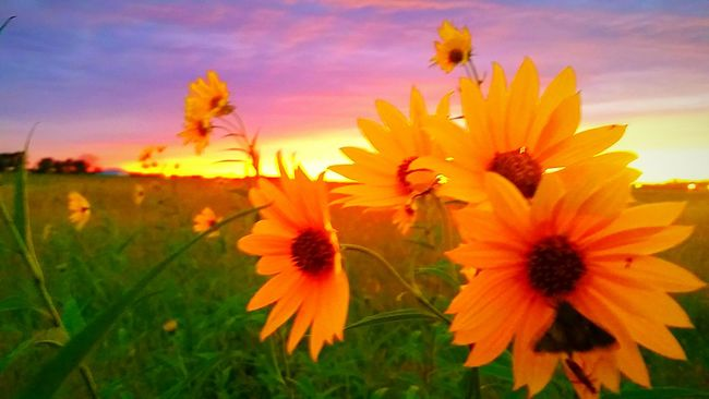 Battle Of The Cities Flower Growth Beauty In Nature Yellow Field Nature Close-up Petal Vibrant Color Focus On Foreground Country Life Countryside Gardner Kansasphotographer Kansasoutdoors Kansas Little Town MERICA!! Enjoying Life Check This Out Taking Photos