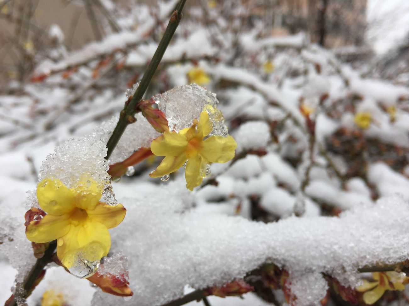 Nature Fragility Beauty In Nature Growth Weather Flower Close-up Cold Temperature Wet Freshness Outdoors Plant Winter No People Petal Day Yellow Snow Flower Head