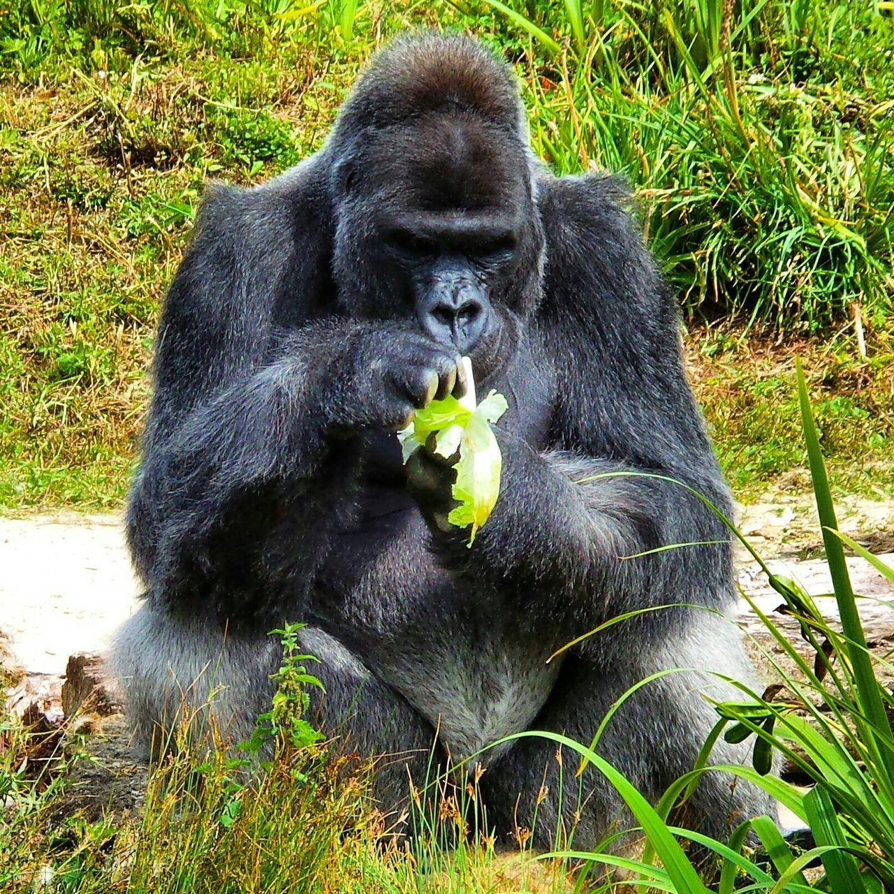 Beautiful stock photos of gorillas, Animal Themes, Animals In The Wild, Banana, Black Color
