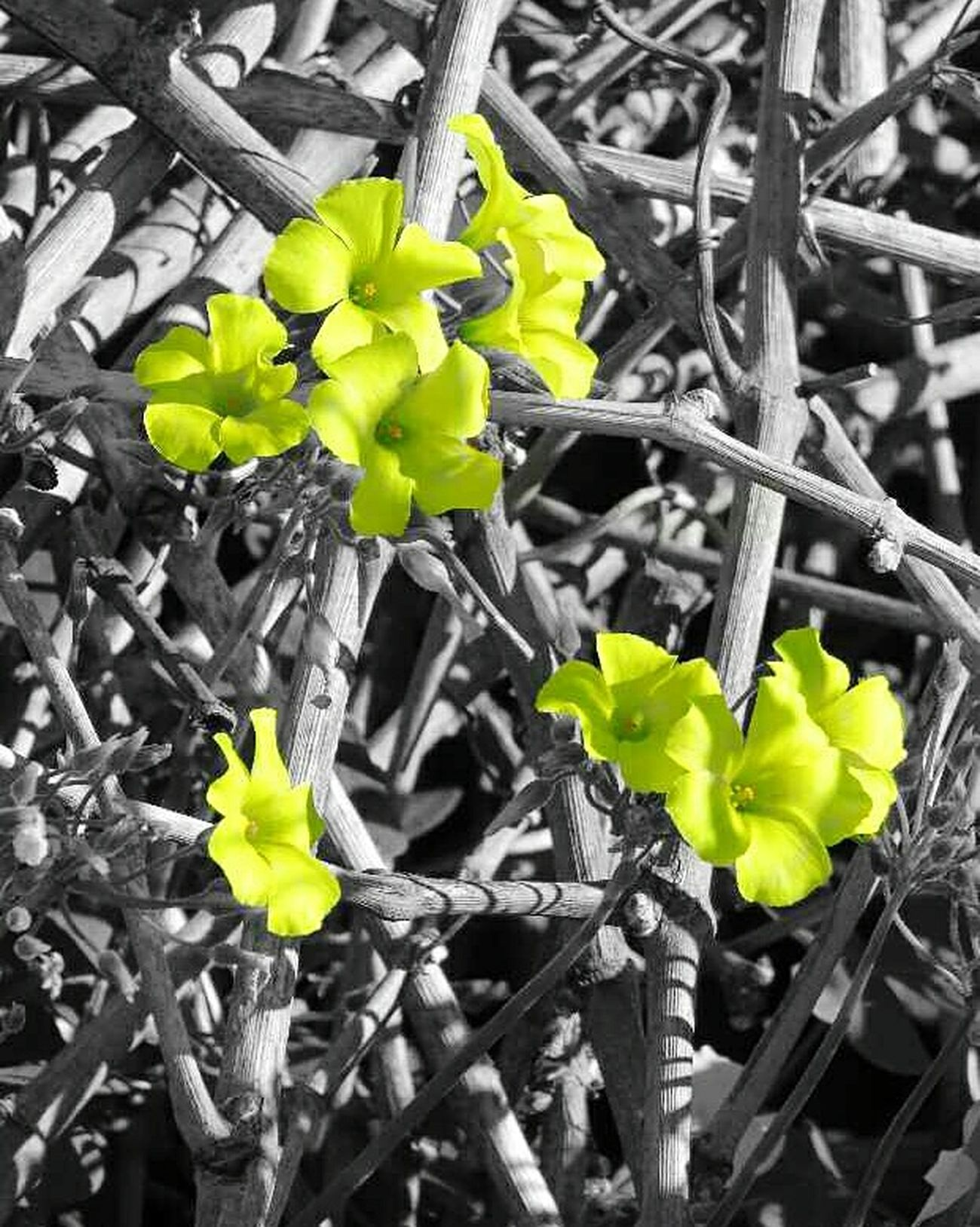 Plant Growth Nature Close-up Yellow Leaf Outdoors Flower Beauty In Nature Day Freshness Blackandwhite Nature Morning Nature_collection EyeEmNewHere Beauty In Nature Nature Photography Spring EyeEm Best Shots Eyeemphotography Brunches Leaves Petals Greece