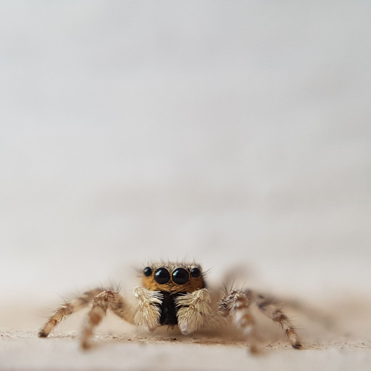 animal themes, one animal, spider, animal wildlife, animals in the wild, looking at camera, no people, close-up, portrait, day, nature, outdoors, mammal