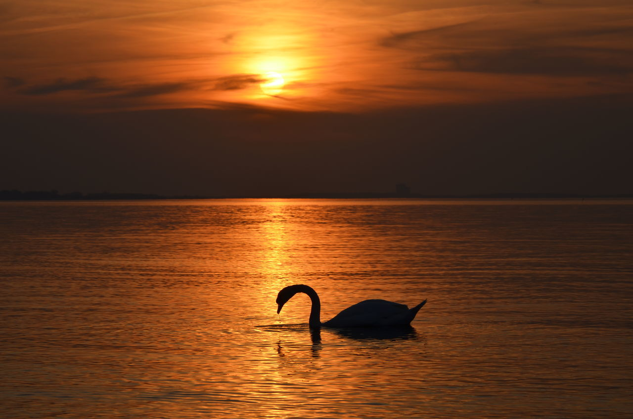 Swan Baltic Sea Golden Water Golden Moment Silhouette Golden Sunset Golden Light Sea Water Swimming Golden Hour Sunset Animals In The Wild One Animal Bird Animal Themes Horizon Over Water Scenics Nature Sun Sunlight Swan In Gold Live For The Story Gold EyeEm Selects