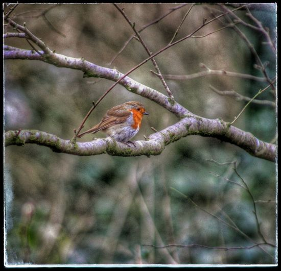 Natures Diversities Little Bird Robin Redbreast Nature At One With Nature Robin Perched For A Pose EyeEm Best Shots EyeEm Gallery Natures Magic Friendly Bird Winter Bird Christmas Robin Nature On Your Doorstep Nature_collection Exceptional Photographs Christmas The Culture Of The Holidays EyeEm Nature Lover Nature_perfection Birds Of EyeEm  EyeEm Best Shots - Nature Our Best Pics Robin Nature At Its Best Birds
