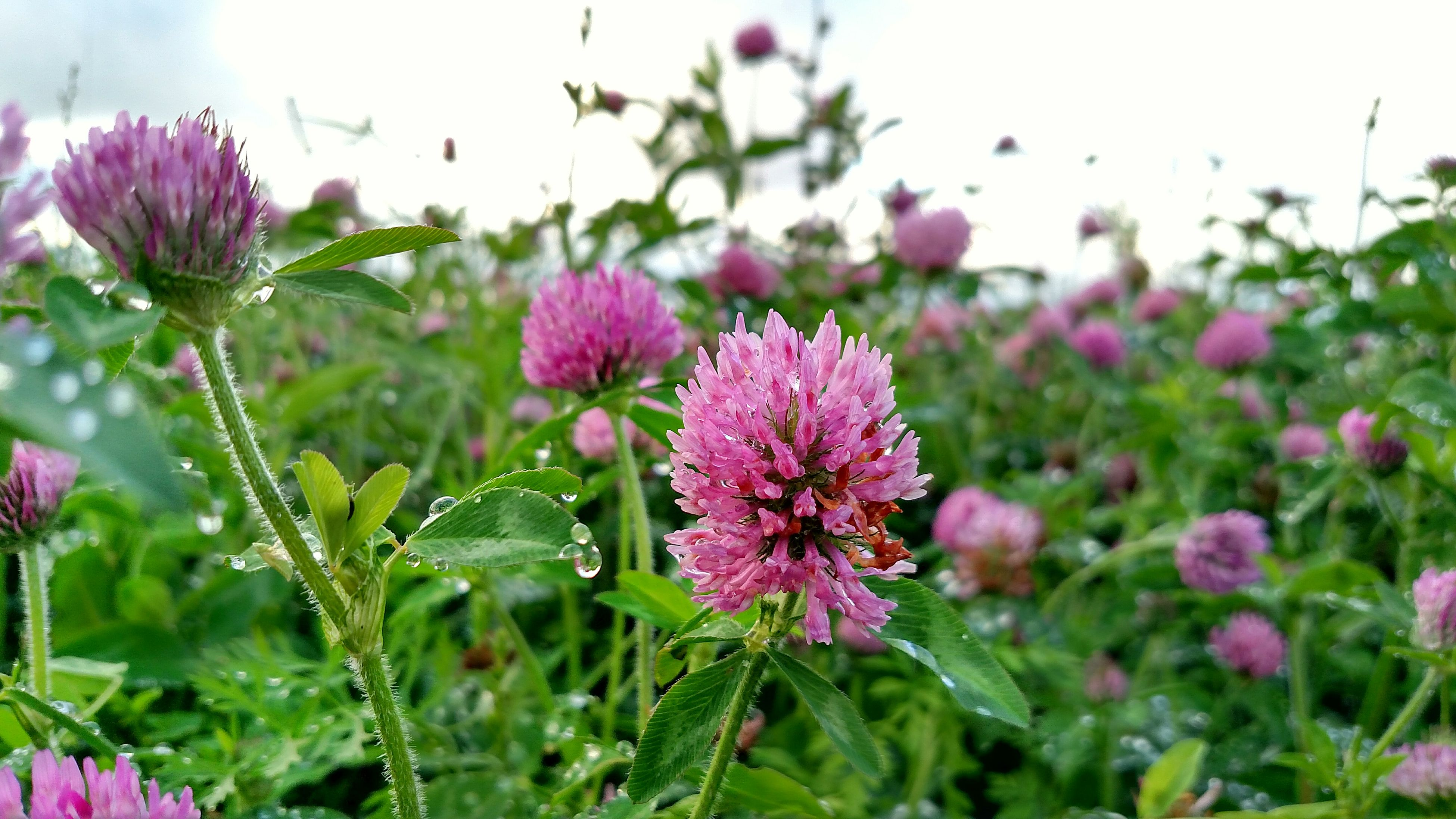 flower, freshness, fragility, pink color, growth, beauty in nature, focus on foreground, petal, plant, flower head, nature, blooming, close-up, stem, in bloom, field, selective focus, day, outdoors, blossom
