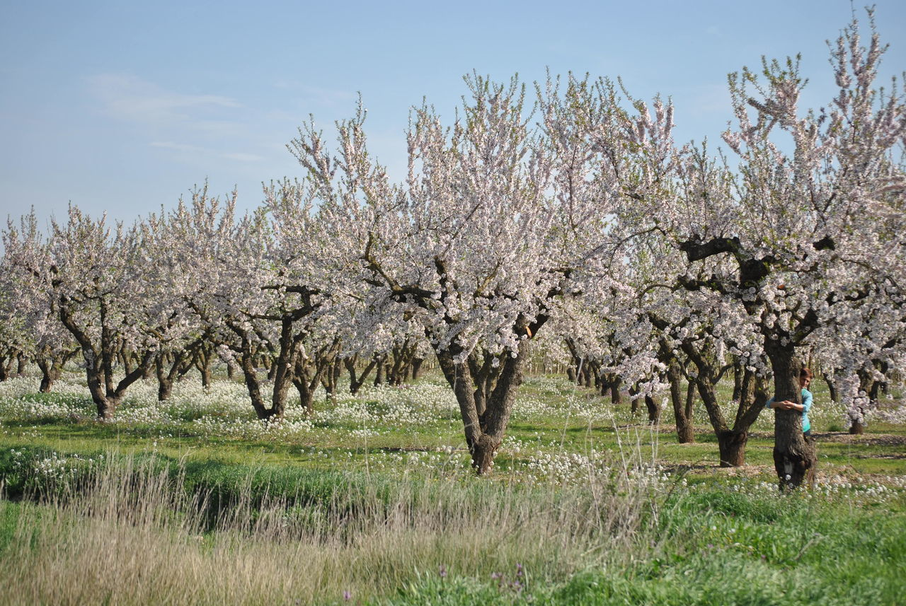tree, flower, blossom, nature, almond tree, beauty in nature, growth, springtime, fragility, orchard, freshness, field, branch, outdoors, day, grass, tranquility, no people, sky