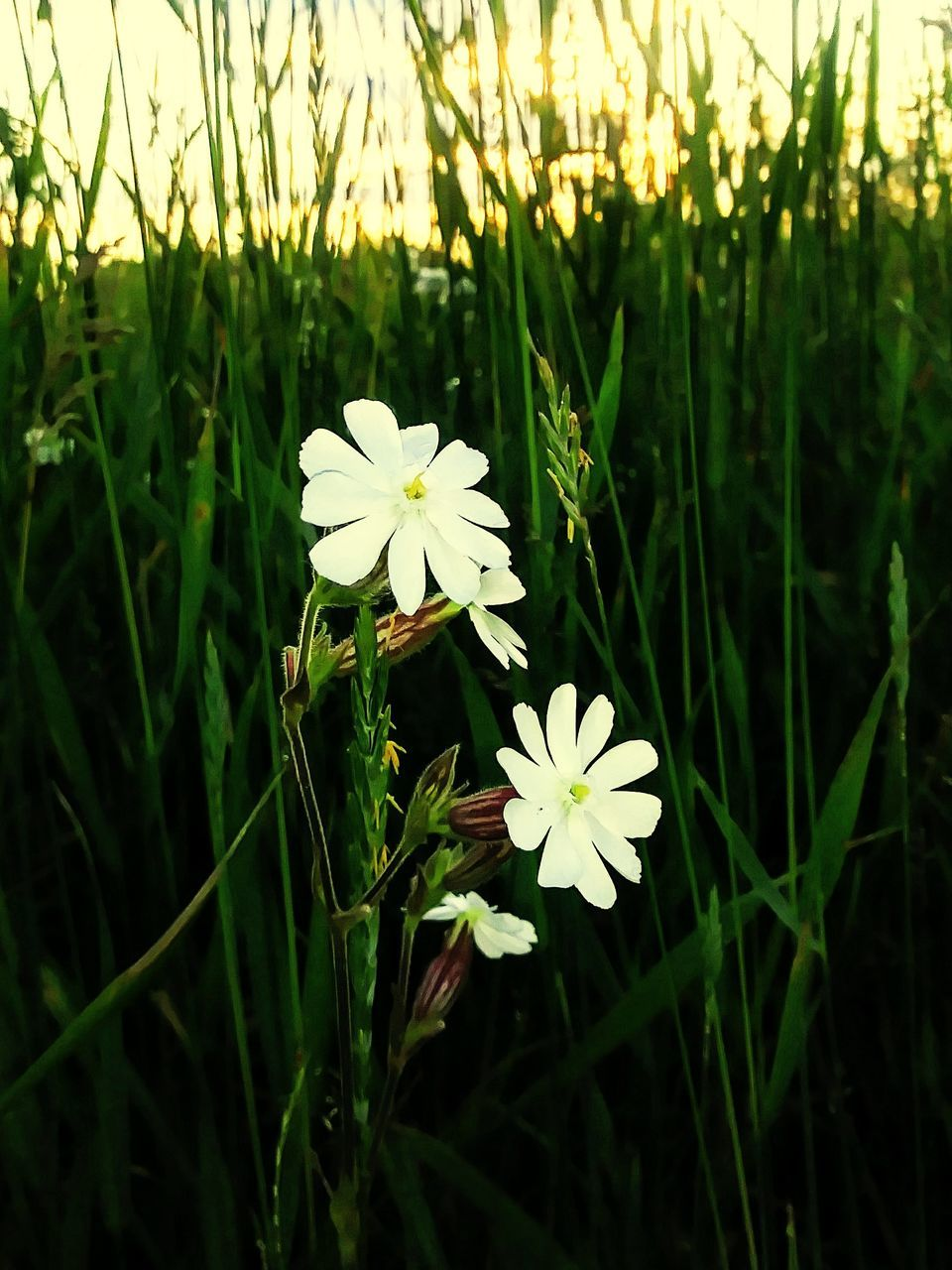 flower, growth, nature, beauty in nature, fragility, petal, white color, freshness, plant, flower head, blooming, field, grass, green color, no people, outdoors, day, close-up