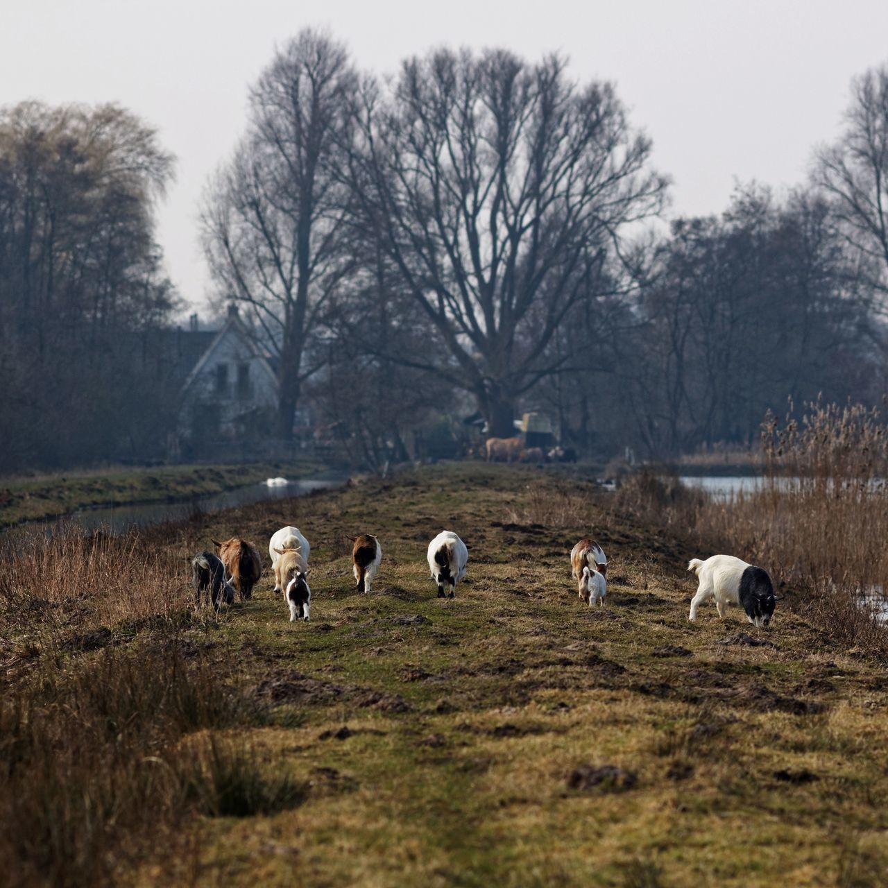 Beautiful stock photos of goat, Animal Themes, Bare Tree, Day, Domestic Animals