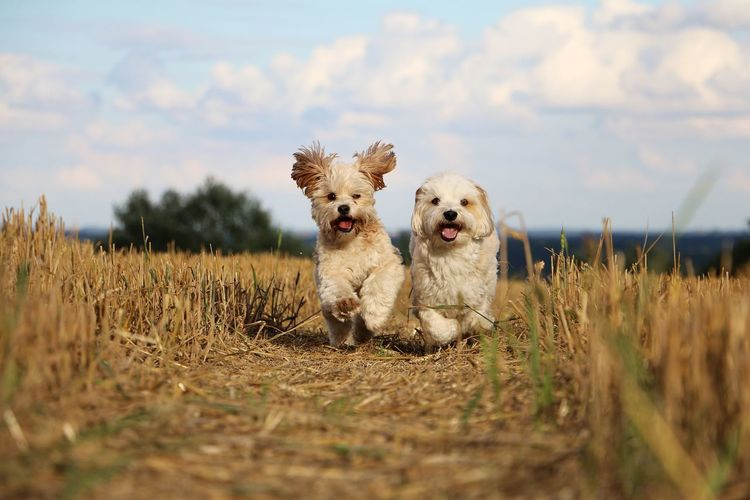 two little dogs running on a stubble field in the sunshine EyeEm Pets Running Action Active Animal Themes Day Dog Domestic Animals Field Grass Havanese Havaneser Maltese Malteser Mammal Nature No People Outdoors Pets Sky Sport Stubble Stubble Field Stubblefield Summer