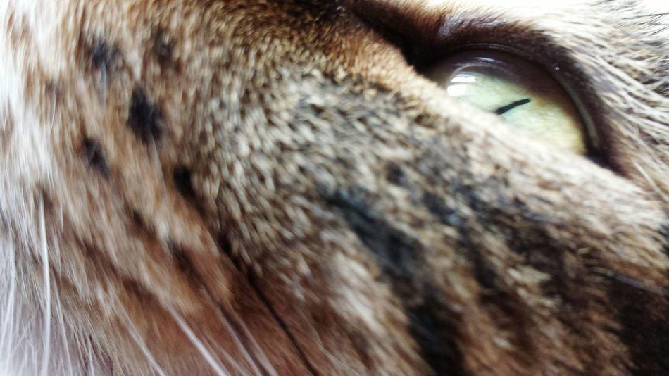 One Animal Animal Themes Pets Cat Bengal Cat Cat Lovers Il Mio Gatto My Cat😺🐈 Gattomeraviglioso My Cat My Cats Mycatisthebest Domestic Animals Mycat Bengalkatze Occhio Cats 🐱 My Cats❤️ Cat Photography Cats Of EyeEm Gatto Cat♡ Gatti Domestici Domestic Cat Feline EyeEmNewHere