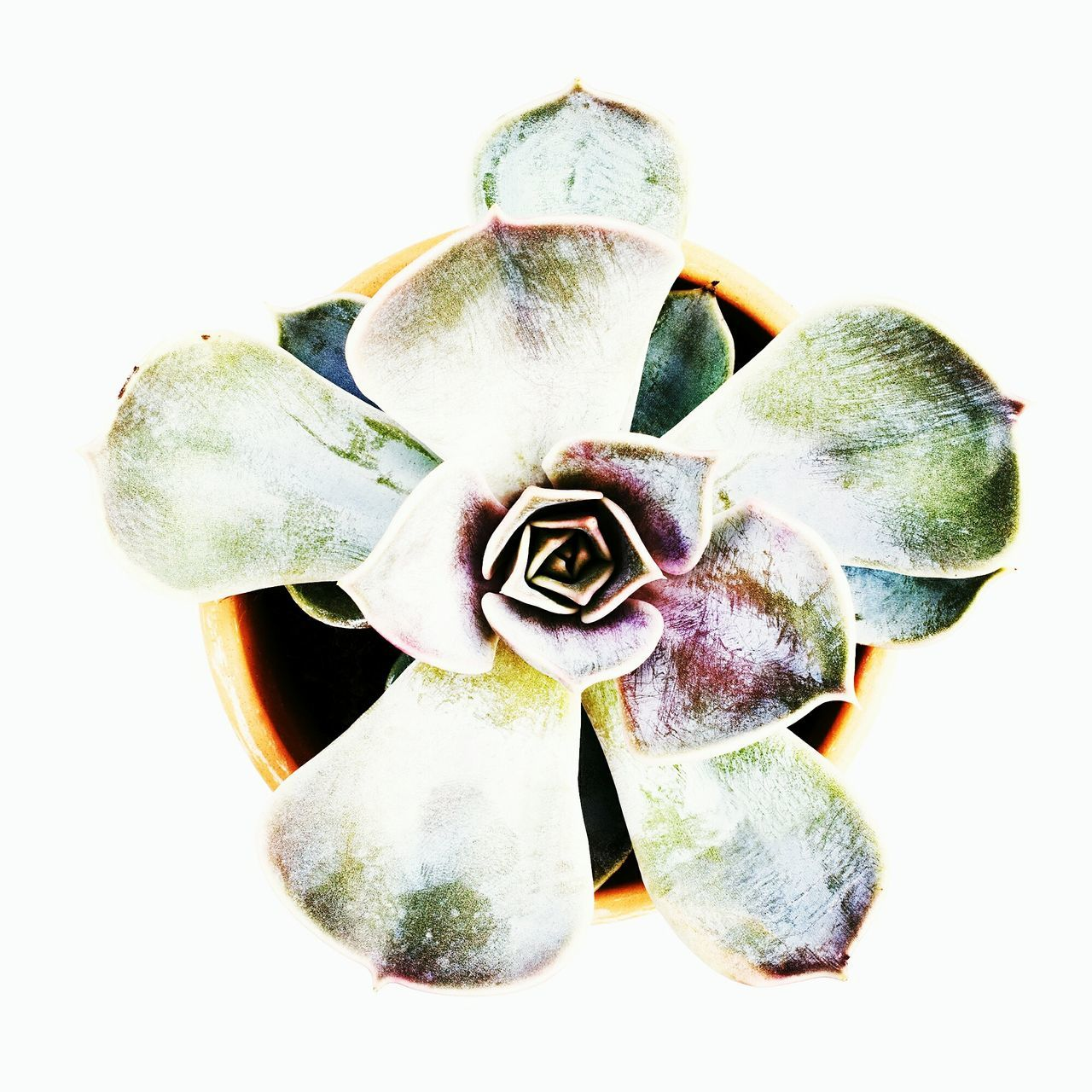 Succulent plant White Background No People Close-up Plant Nature Fragility Indoors  Day Succulent Plant Indoors  Nature Plant Leaf Container Gardening Garden Photography