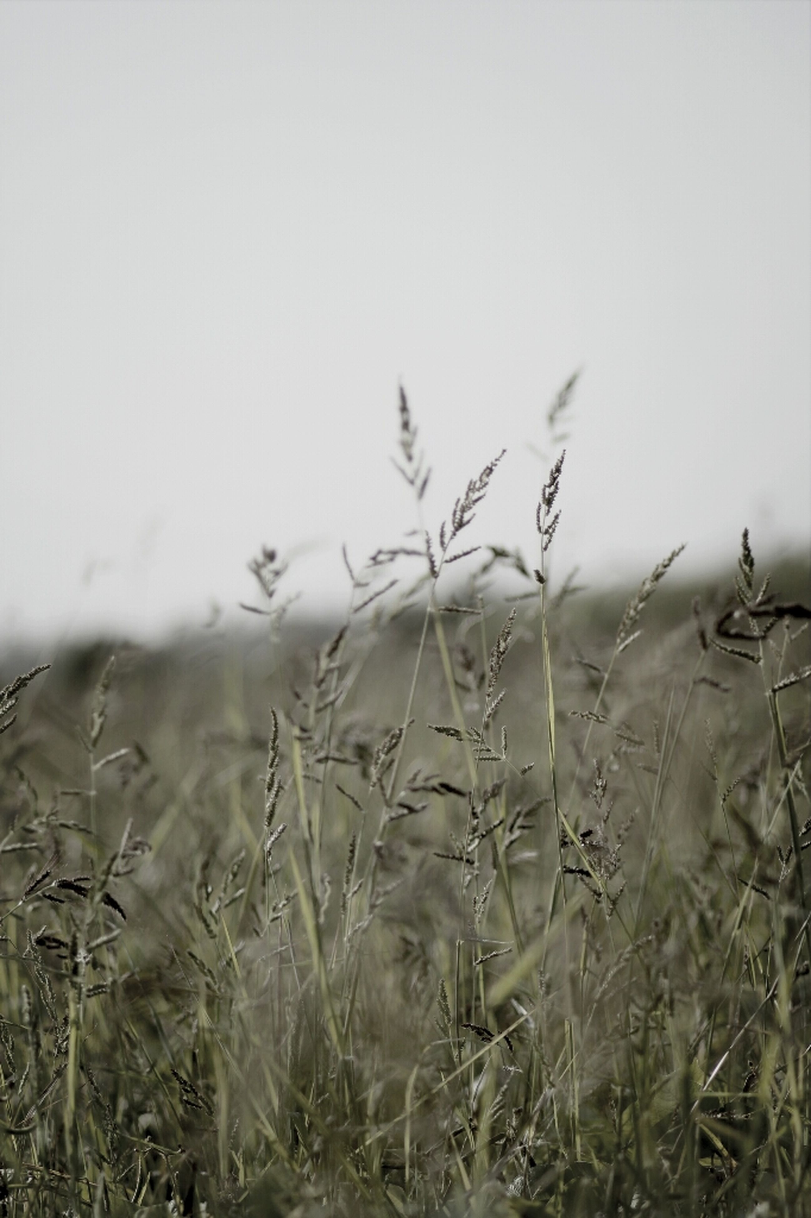 field, grass, plant, growth, nature, tranquility, fog, landscape, dry, tranquil scene, foggy, beauty in nature, sky, copy space, no people, day, outdoors, rural scene, weather