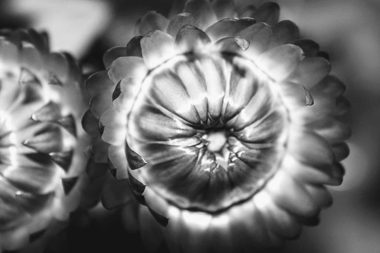 Macro flower Flower Close-up Freshness Flower Head Plant Nature No People Beauty In Nature Black&white Photography Black&white♥ Macro Beauty Macro Photography Macro Nature