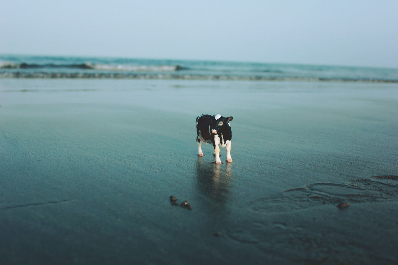 Beautiful stock photos of cow, Animal Representation, Beach, Beauty In Nature, Calm