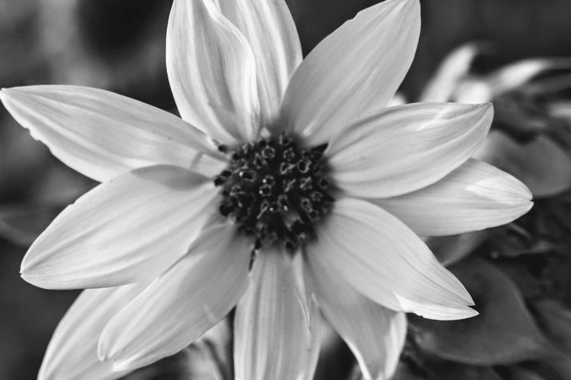EyeEm Selects black and white macro of a flower Flower Flower Head Petal Beauty In Nature Nature Fragility Pollen Growth Close-up Outdoors Focus On Foreground Plant No People Tranquility Black & White Macro Photography Black And White Photography Single Object Macro Beauty Macro Nature Plant Blossom