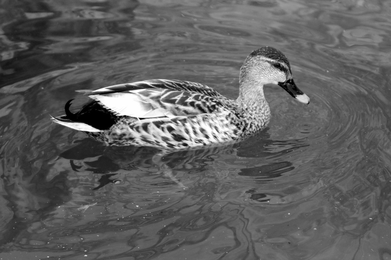 High Angle View Of Female Mallard Duck Swimming In Lake