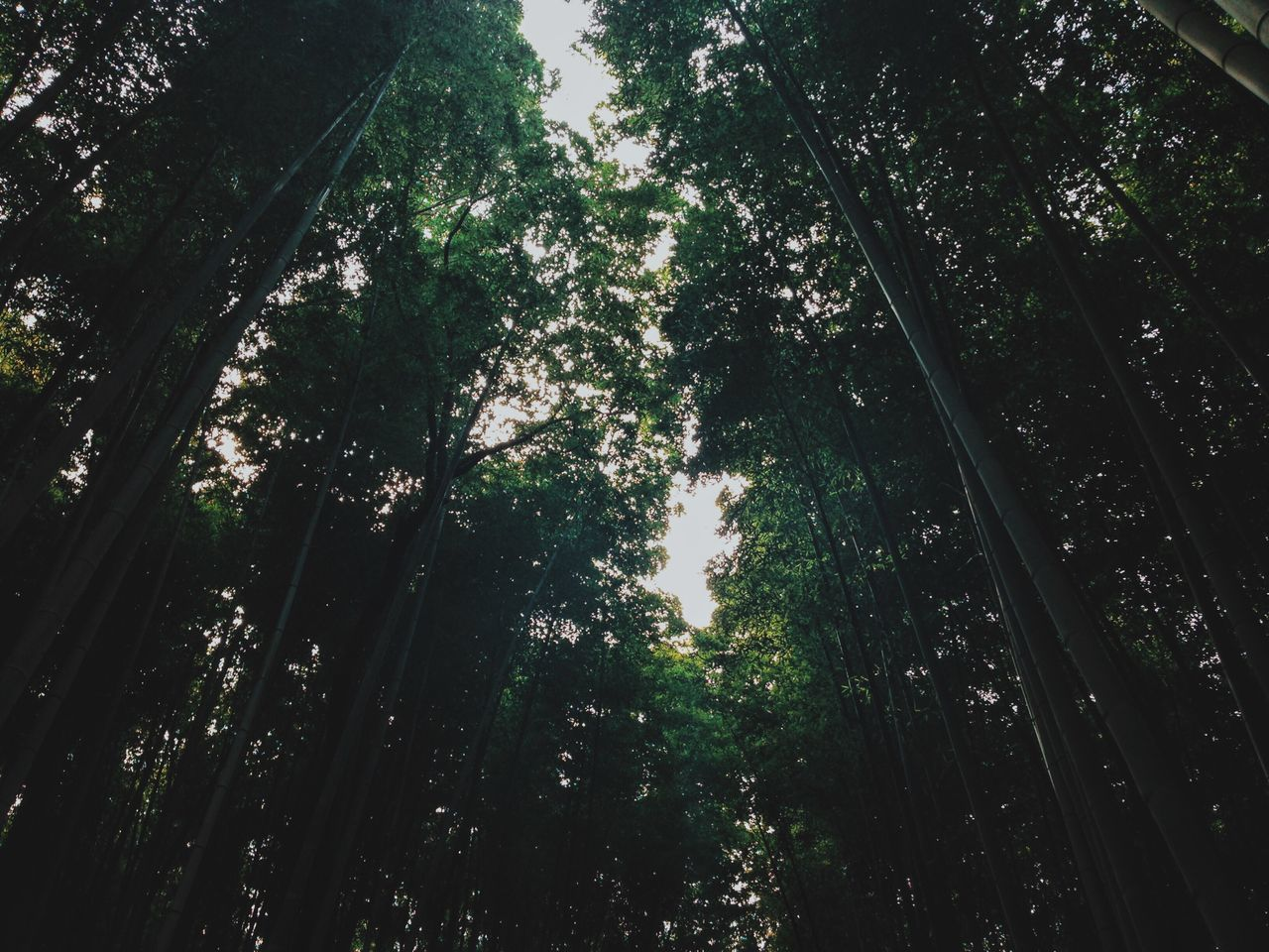 tree, nature, growth, tranquility, forest, beauty in nature, low angle view, tranquil scene, no people, outdoors, scenics, day, bamboo - plant, branch, sky