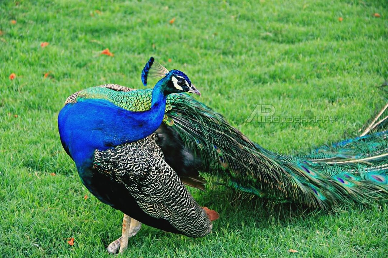 Sightseeing UAE , Dubai Dubai Traveling Peacocks Zabeel
