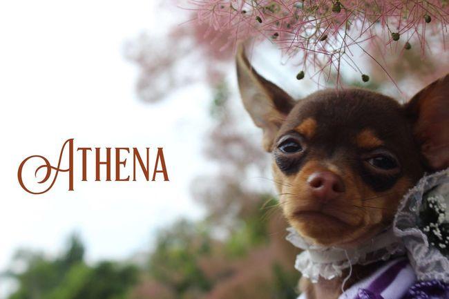 My little Russiantoy Russiantoyterrier Russiantoyterier Lovedog LoveMyPuppy Littledog