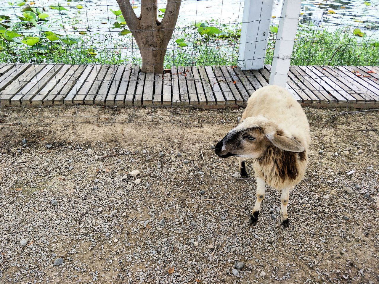 animal themes, one animal, day, mammal, domestic animals, outdoors, livestock, no people, nature, close-up