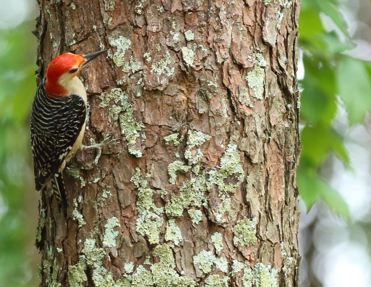 Red-bellied Woodpecker Pine Tree Animal Themes Animals In The Wild Beauty In Nature Outdoors