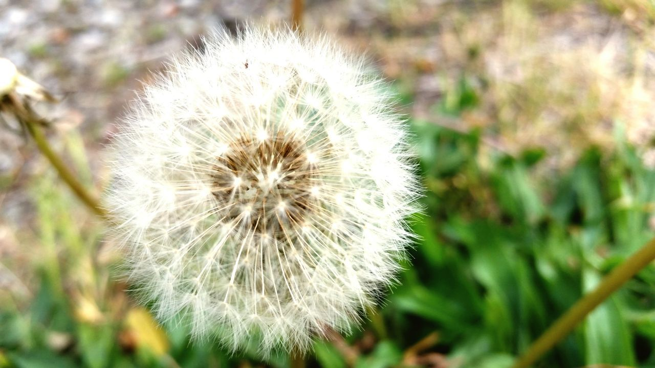 nature, growth, dandelion, plant, flower, tissue, uncultivated, close-up, fragility, beauty in nature, outdoors, no people, flower head, day, freshness