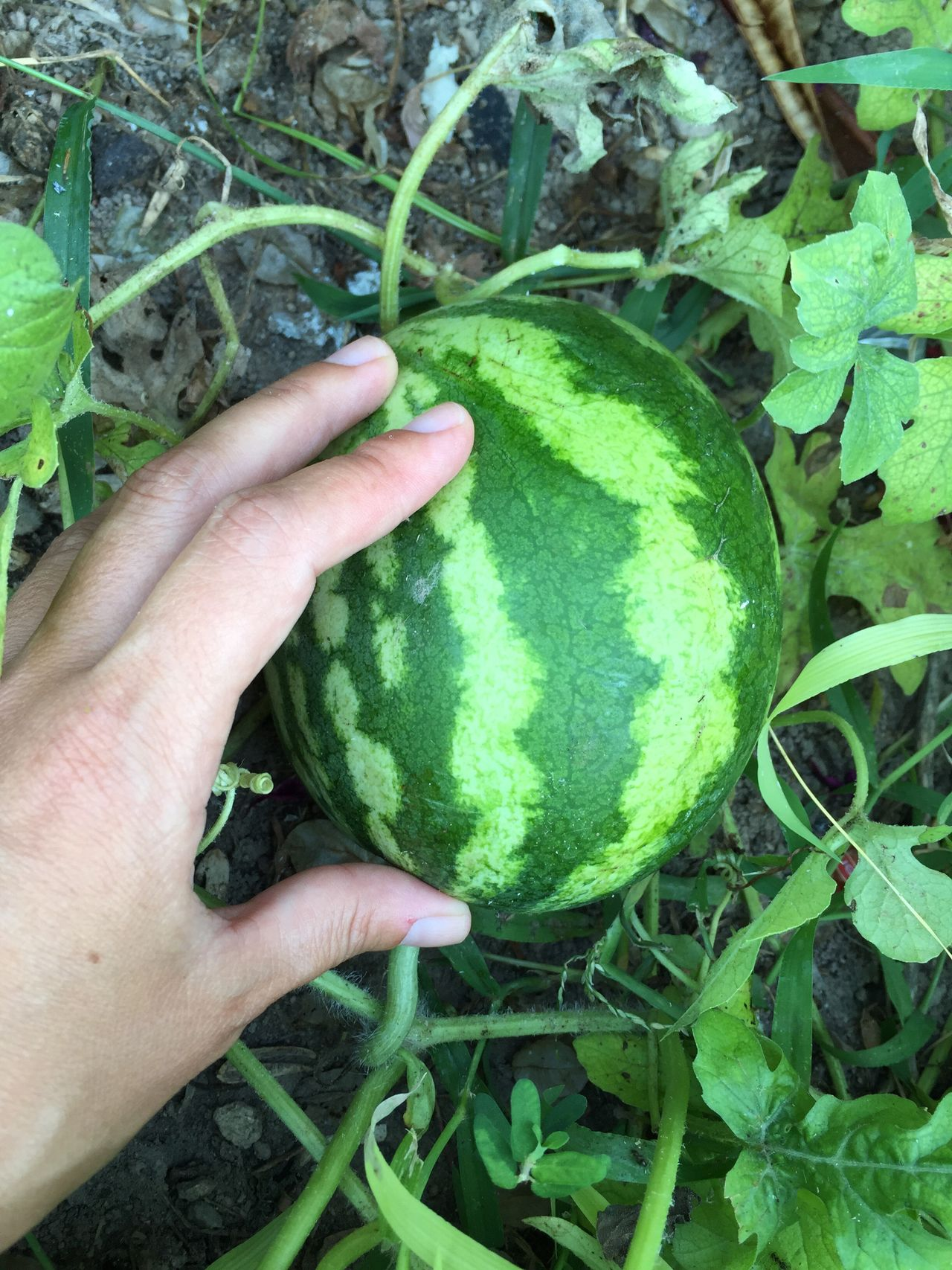 Watermelon Water Melon Green Food Plant Garden Greenery Nature Agriculture Hand Plants Growth Growing Fruit