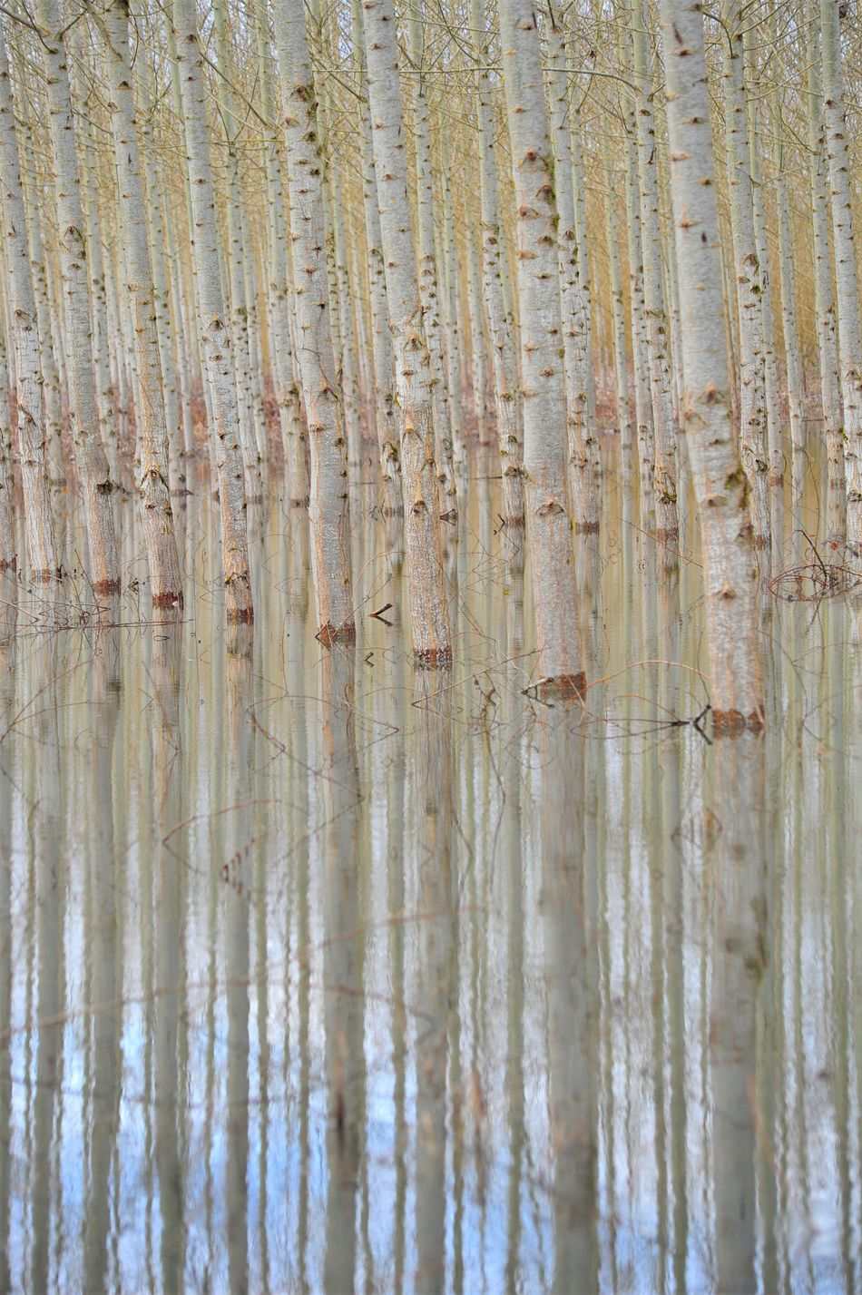 Backgrounds Beauty In Nature Close-up Cottonwood Trees Day In A Row Nature No People Outdoors Reflection Tranquility Water If Trees Could Speak