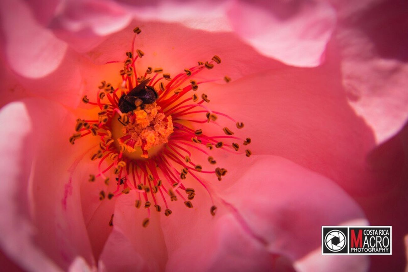 http://www.costaricamacrophotography.com/#gallery-29 Macro Macro Photography Macro_collection Macro Beauty Macro Nature Macro_flower Macro Insects Macro_collection Nature_collection EyeEm Best Shots EyeEm Nature Lover Macro World Costa Rica Puravida Pink Flower Pink Color Bee Beautiful Beauty In Nature Flower Nature_collection Nature Photography Contrast Color