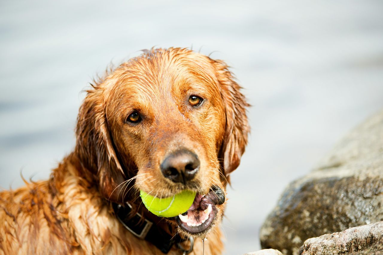 Close-Up Portrait Of Dog Holding Tennis Ball