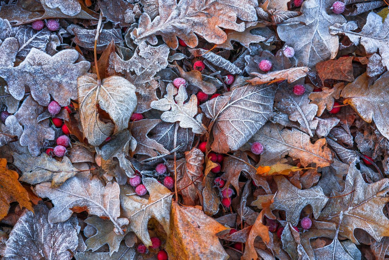 leaf, autumn, change, dry, leaves, nature, abundance, outdoors, beauty in nature, fallen, maple leaf, day, no people, fragility, large group of objects, close-up, maple