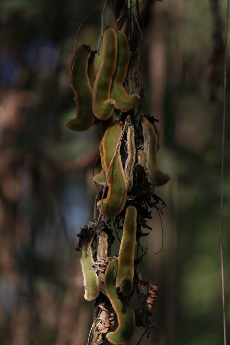Beauty In Nature Branch Close-up Day EyeEm Focus On Foreground Freshness Growth Nature No People Outdoors Plant Tree Mucuna Pruriens Medicinal Plant
