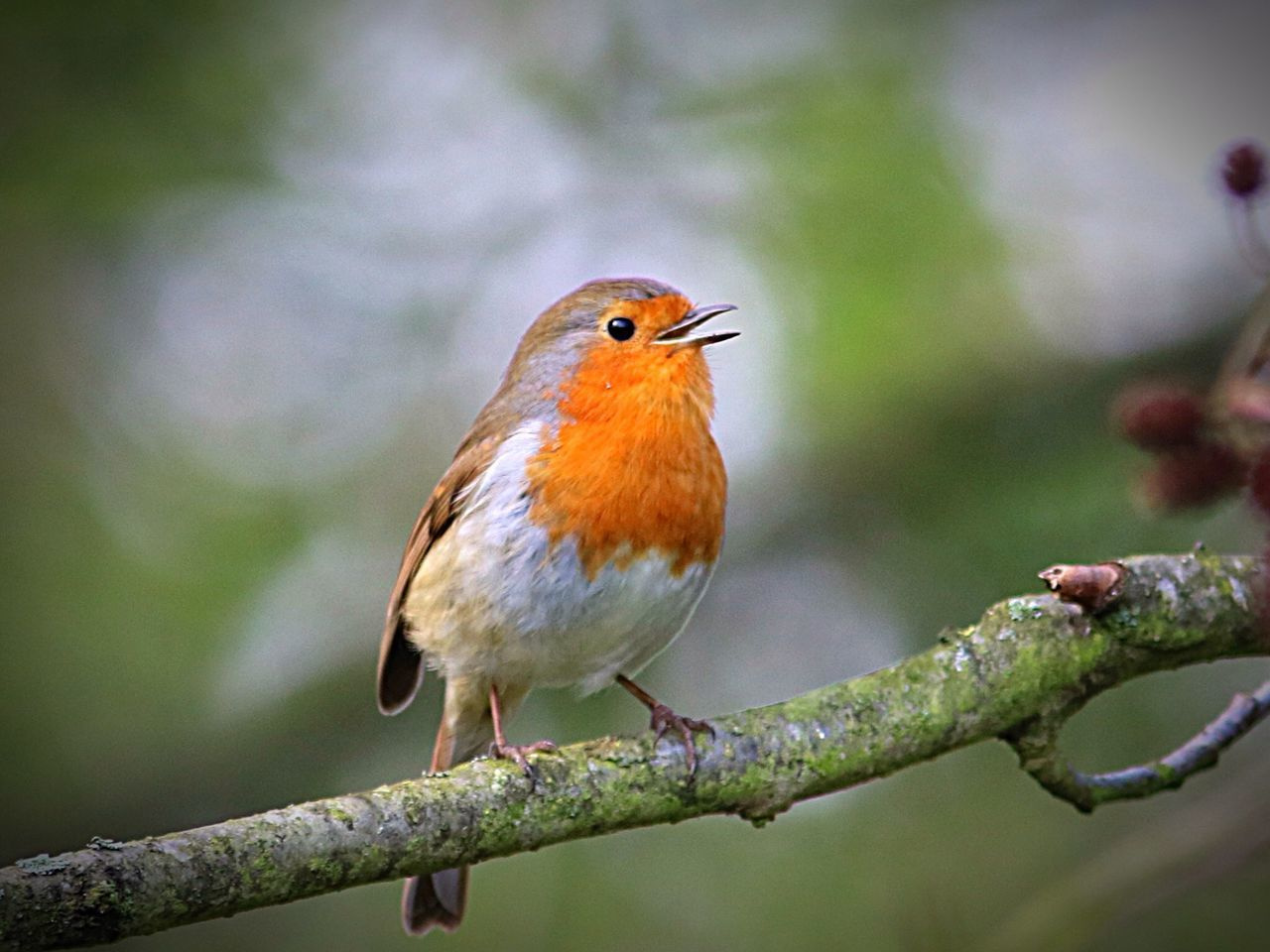 Bird One Animal Animal Themes Perching Animals In The Wild Focus On Foreground Animal Wildlife Nature Robin Close-up No People Branch Outdoors Day Nature Photography Bird Photography Birds Of EyeEm  Wildlife Photography