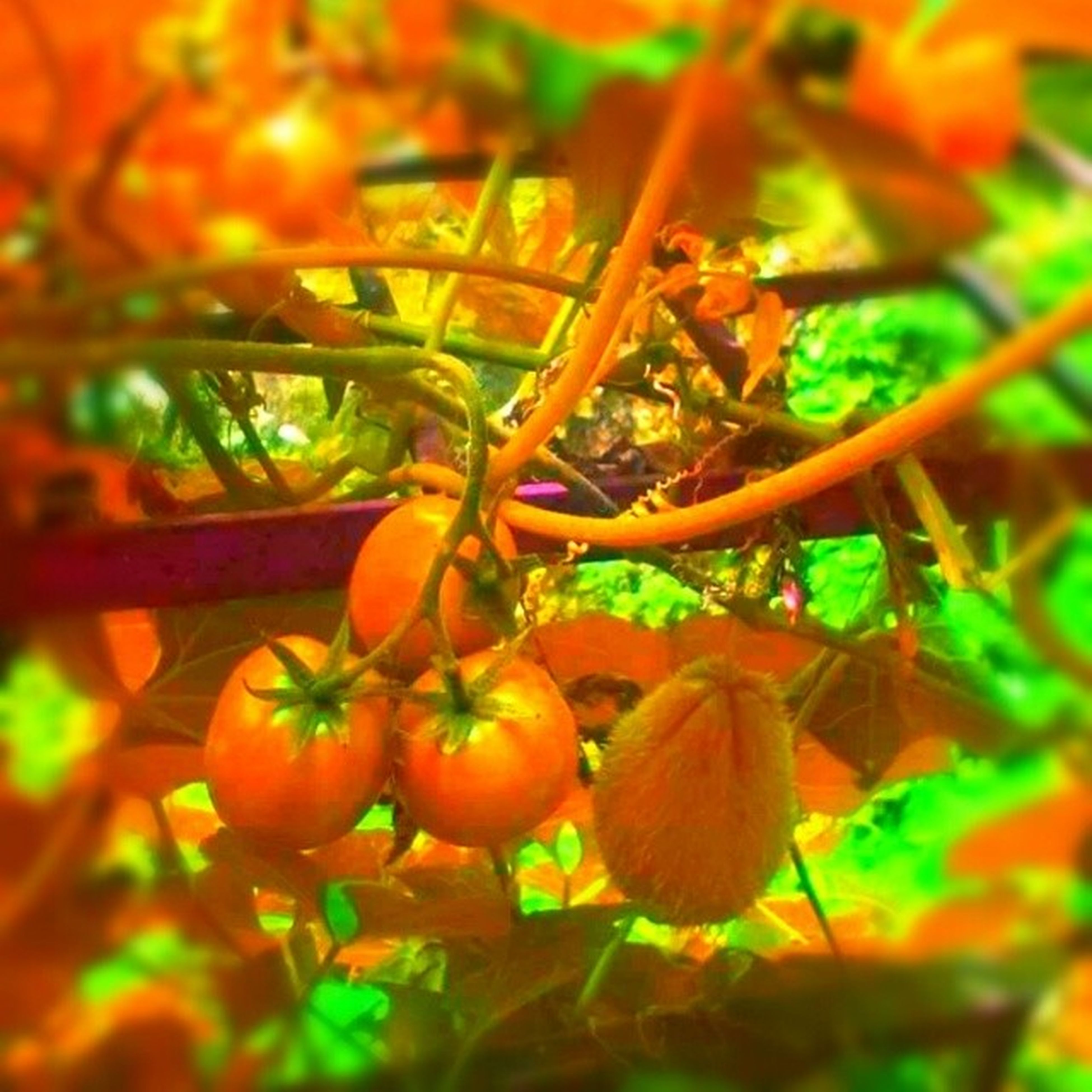 growth, freshness, orange color, close-up, leaf, focus on foreground, nature, plant, selective focus, food and drink, fruit, healthy eating, beauty in nature, stem, food, day, no people, branch, outdoors, fragility