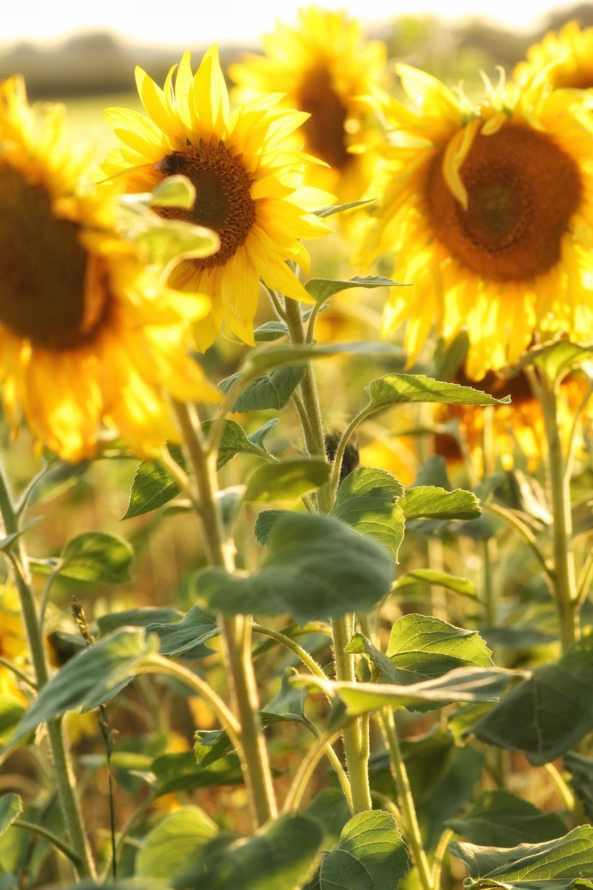 flower, freshness, petal, fragility, beauty in nature, yellow, growth, flower head, animal themes, nature, plant, stem, close-up, sunflower, park - man made space, blooming, day, focus on foreground, outdoors, no people, sepal, green color, pollen, tranquility, springtime
