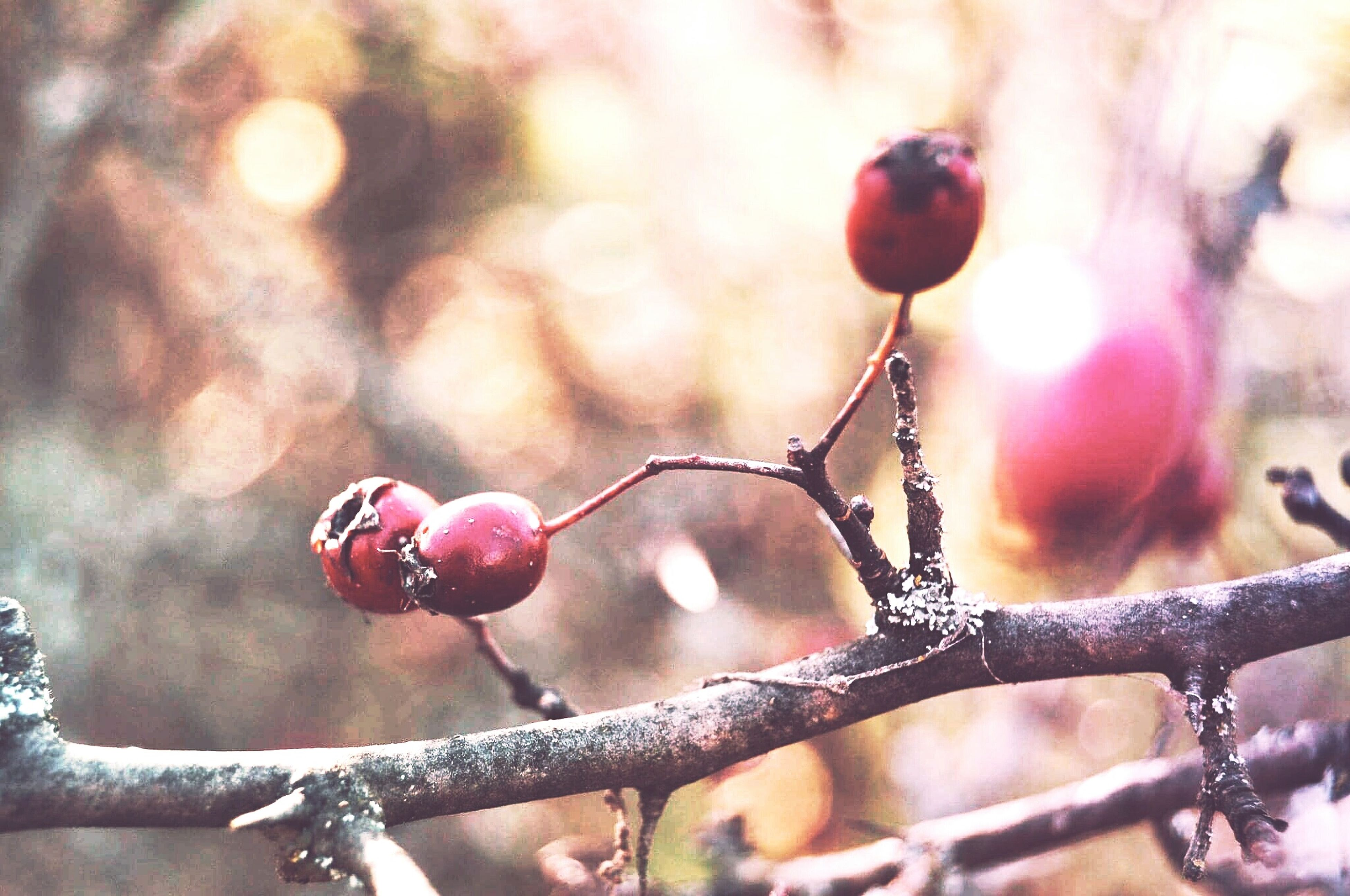 close-up, focus on foreground, rose hip, nature, fruit, freshness, red, food and drink, plant, outdoors, no people, twig, tree, day, beauty in nature, healthy eating