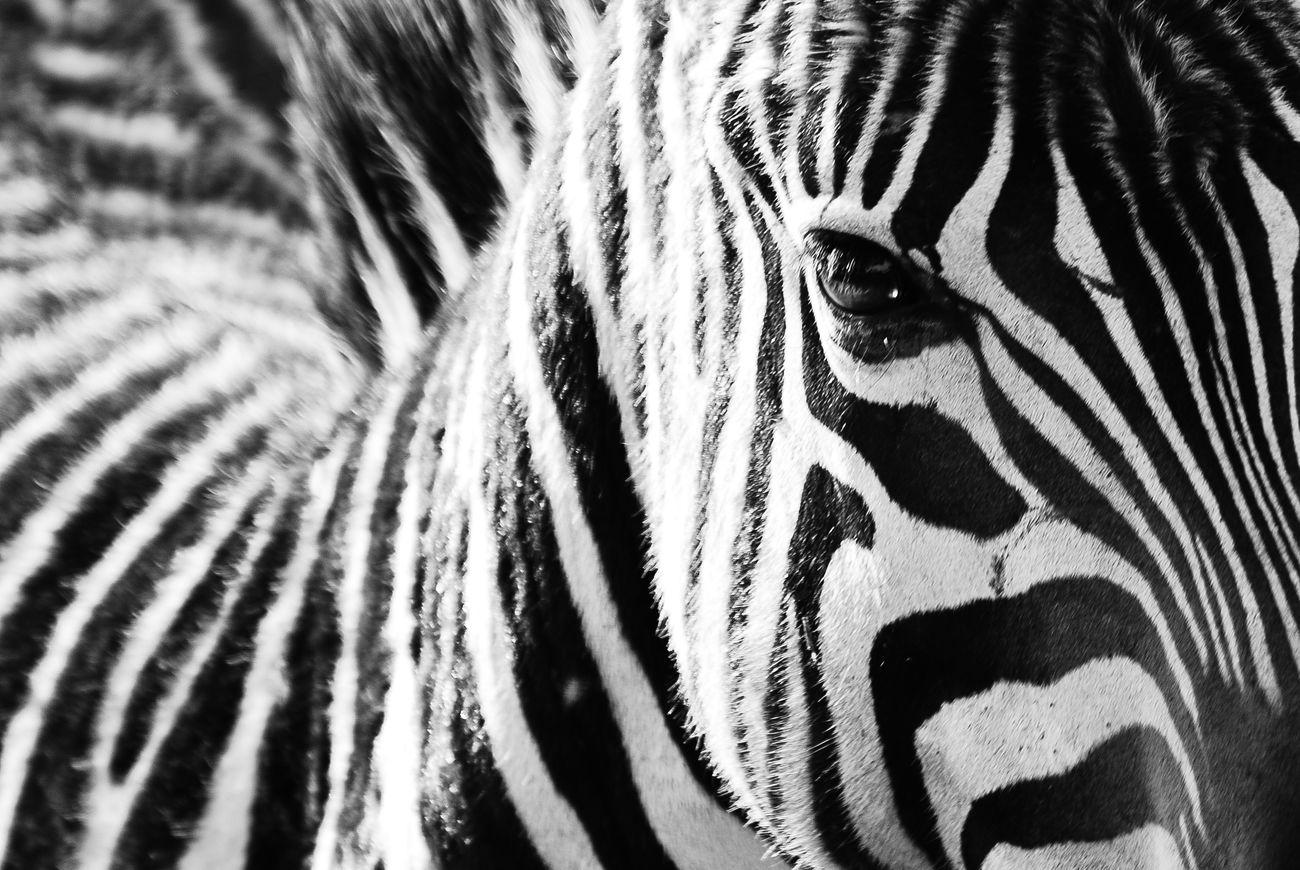 Black with white stripes, or white with black stripes? Pattern Monochrome Blackandwhite Black & White Animals In The Wild Animal Wildlife Travelphotography Travel Photography Travel Africa Wildlife Wildlife & Nature Wildlifephotography Nature Maasai Mara Kenya