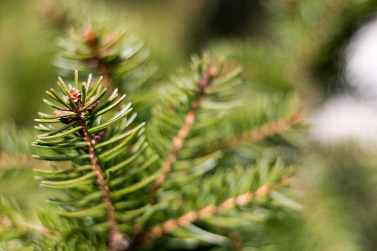 Axvo Beauty In Nature Branch Christmas christmas tree Close-up Day Fir Tree Focus On Foreground Freshness Green Color Growth Nature Needle Needle - Plant Part No People Outdoors Pinaceae Pine Tree Plant Selective Focus Spruce Tree Tree