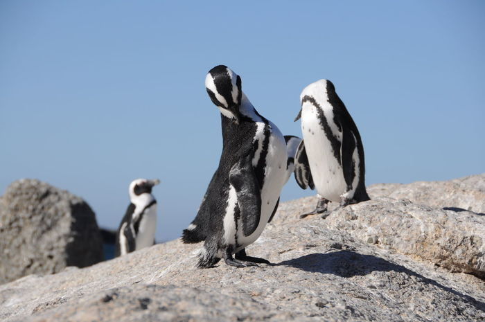 Animal Animal Themes Animal Wildlife Animals In The Wild Boulders Beach Claw Clear Sky Day Nature No People Outdoors Penguin Rock - Object