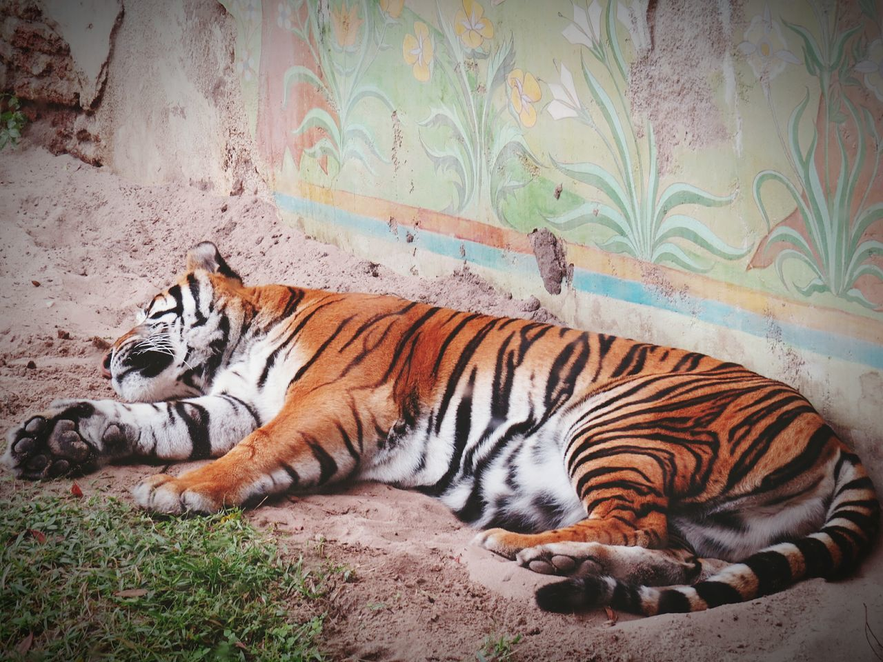 Animal Themes Tiger Mammal One Animal Feline Beauty In Nature Circus Bad Condition Not Good For Me  Desagree Freedom For Animals Freedom For All