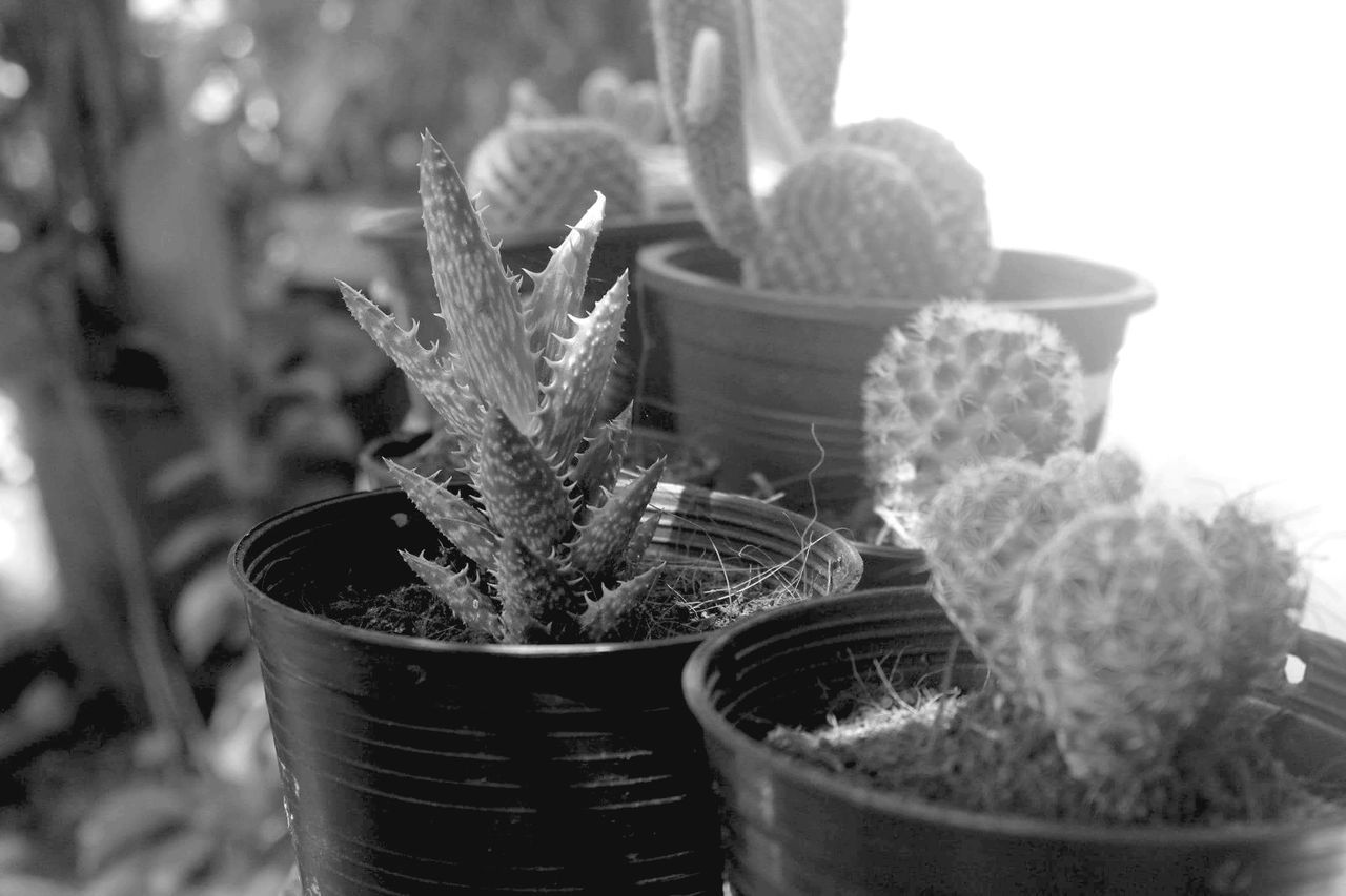 cactus, growth, potted plant, plant, thorn, nature, no people, close-up, day, needle, outdoors, beauty in nature, herbal medicine, freshness
