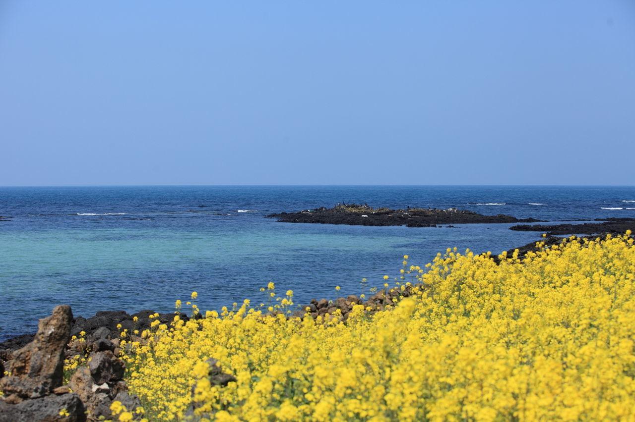 Beach Beauty In Nature Blue Flower JEJU ISLAND  RapeFlowers Sea Sehwa On The Beach Sky Yellow