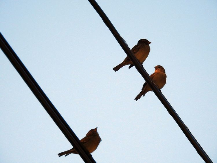 three birds on 2 diagonal wires. Bird On A Wire Diagonal Lines No People Bird Photography Nature Photography Birds_collection Wires In The Sky Wires And Sky Birdwatching From Below Wires Birds On Wire Nature_collection Blue Sky Low Angle View Bird Perched Morning Light Golden Hour