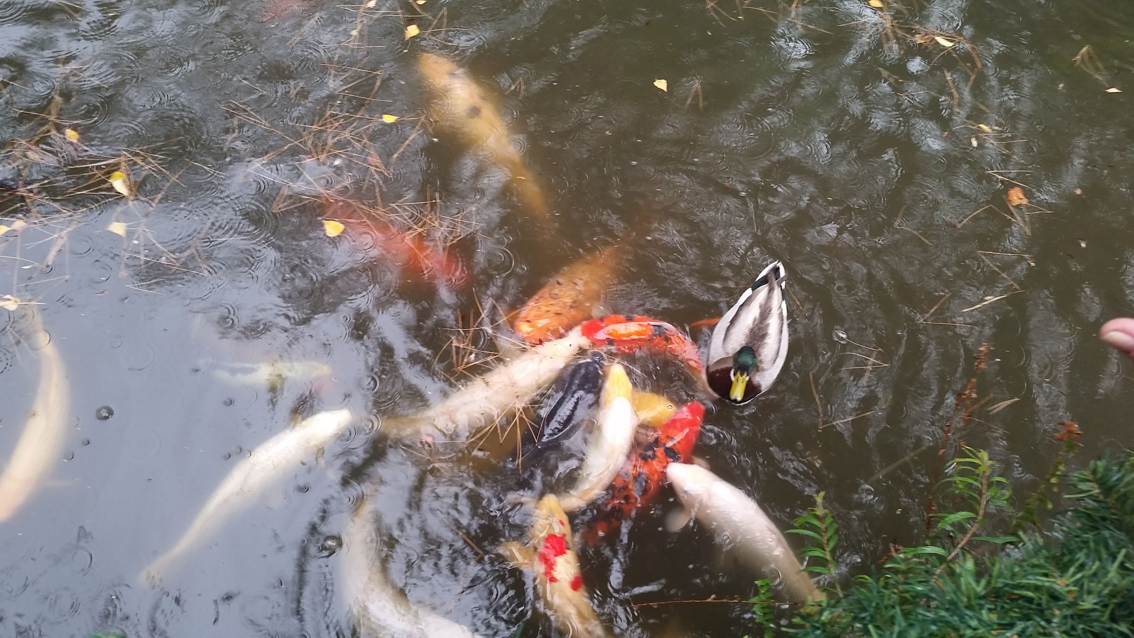 animal themes, water, swimming, animals in the wild, high angle view, wildlife, lake, one animal, duck, bird, pond, nature, waterfront, reflection, two animals, day, outdoors, fish, pets, domestic animals