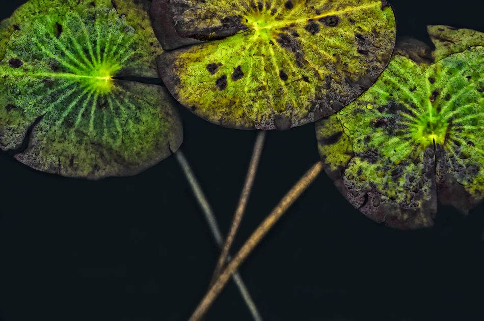 Dy Green Leaf Lily Flower Pads Lily Pads Lilypads Plants Water Water Lilies. Lilly Pads. Water Plants