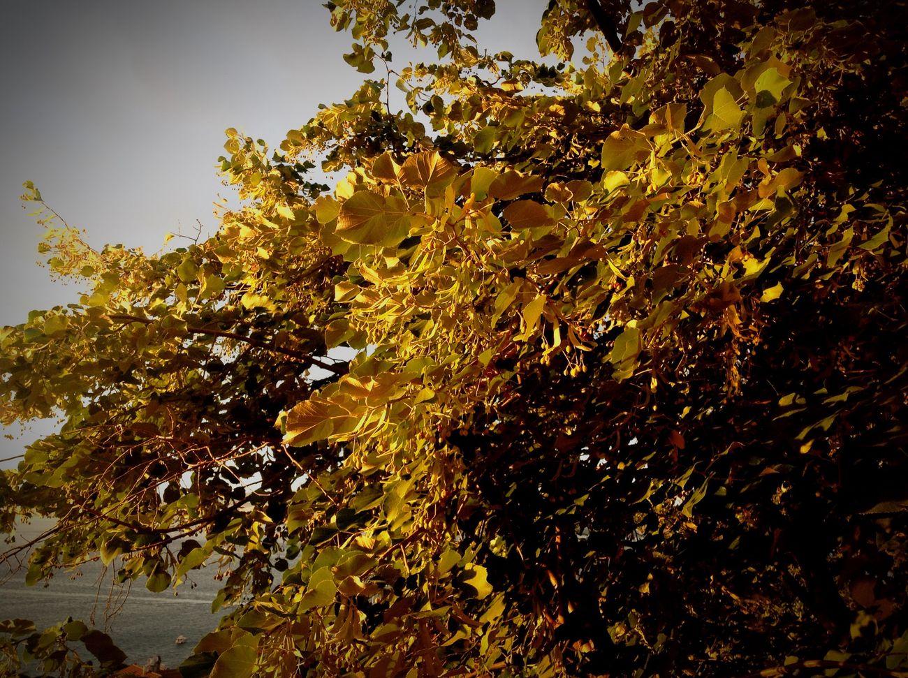Istanbul Büyükada Nature Light Sunset Linden Tree