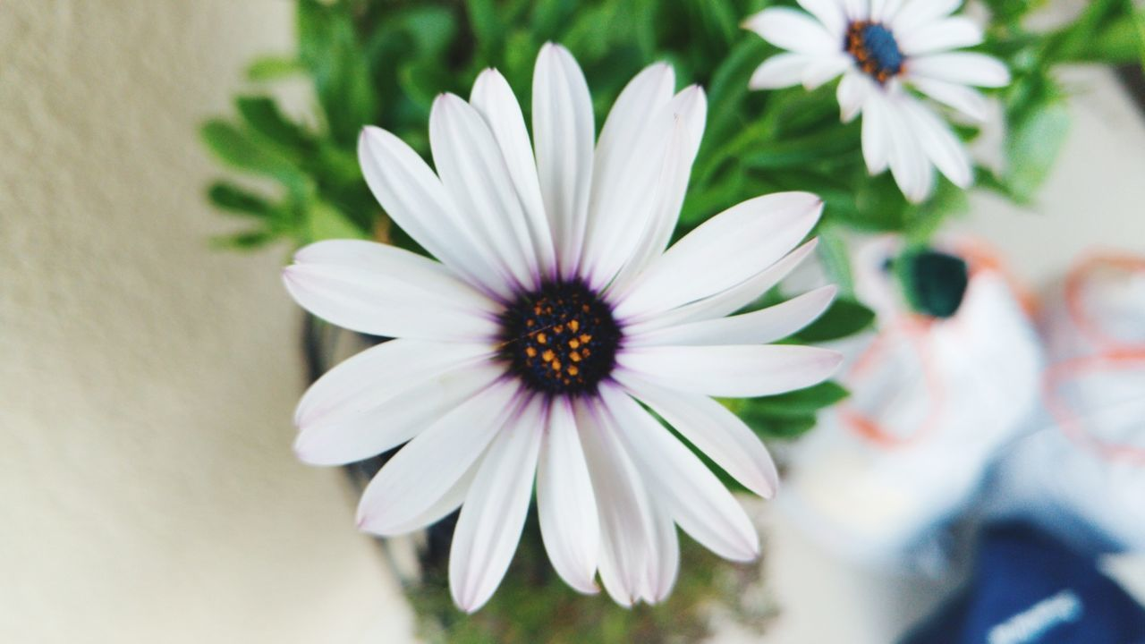 flower, petal, white color, flower head, fragility, nature, beauty in nature, freshness, growth, osteospermum, plant, day, no people, blooming, close-up, outdoors